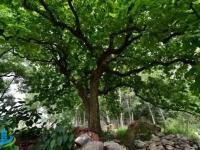 春天里,滕州那些站立千年的古树还挺励志!