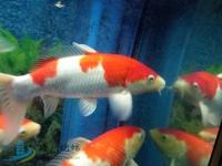 鱼缸减密转进囗五十岚红白2条