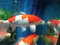 鱼缸减密,转进口五十岚红白锦鲤两条
