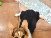 柯基 柯基 有爱狗狗的人