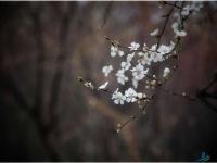 荆河岸边的一些树开花了!