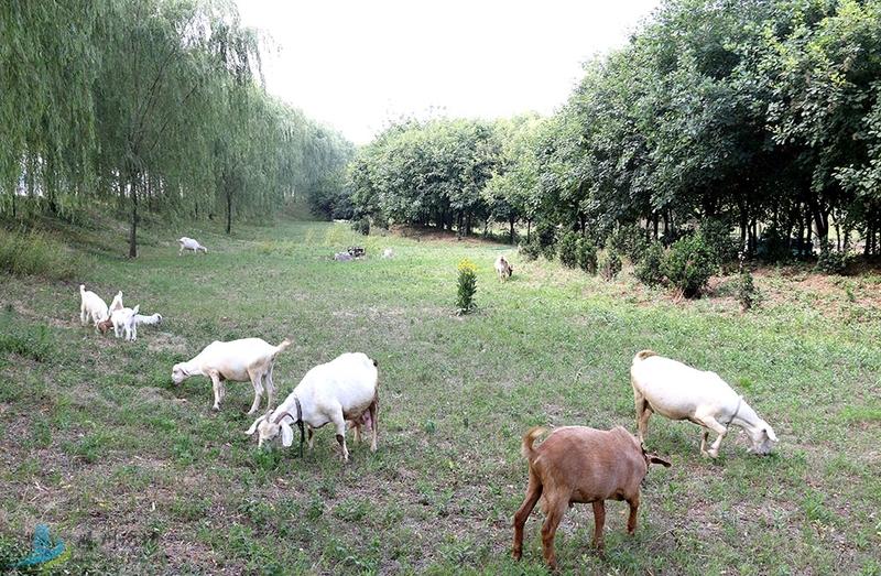 温顺的山羊
